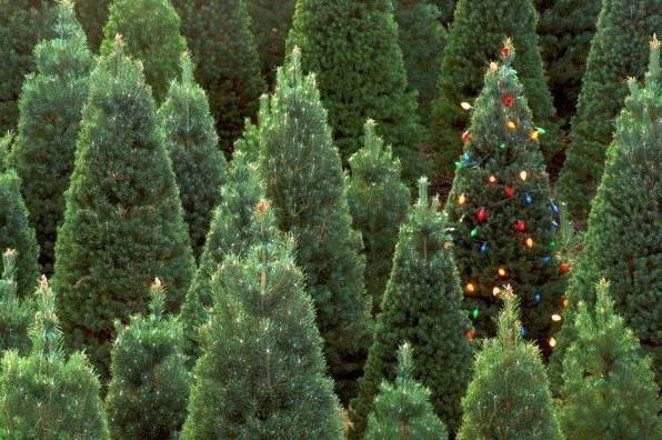Вінницькі лісівники заготували на продаж майже 30 тис. новорічних ялинок